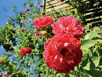 走出神話世界的玫瑰精靈 停駐臺北玫瑰園