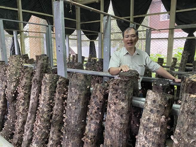 台大實驗林栽種段木香菇,之後會將技術移轉給林農,創造林下經濟。(林志成攝)