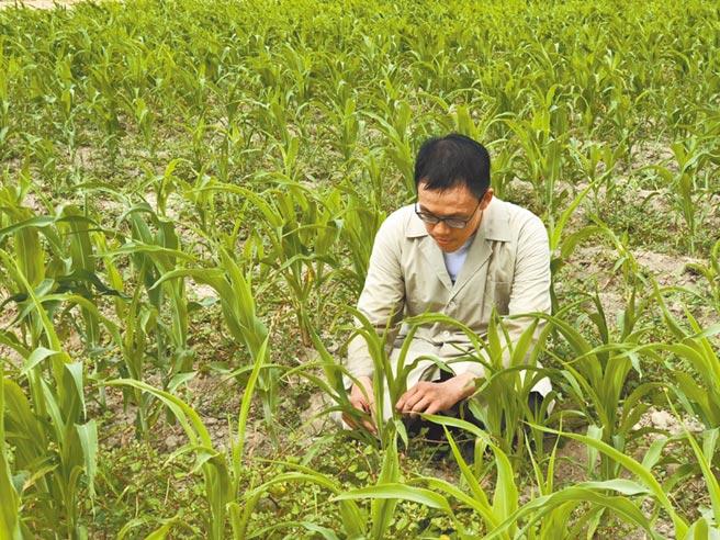 台南農改場成功育種抗旱澇「台南7號」、「台南8號」高粱新品種。(台南農業改良場提供/劉秀芬台南傳真)