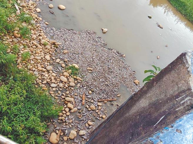 楊梅老飯店橋近日出現一大群翻肚死魚,讓經過的路人直呼氣味實在受不了。(黃婉婷攝)