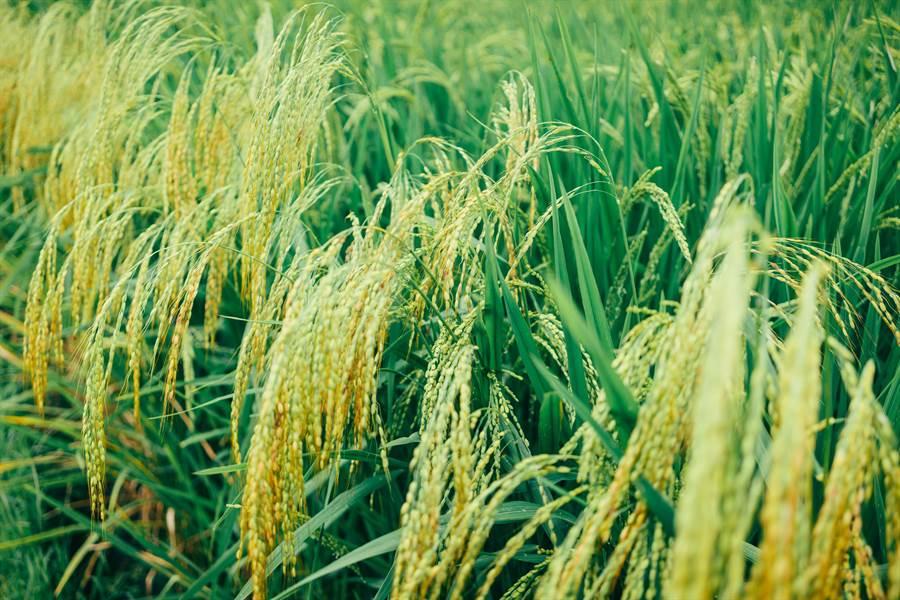 大陸玉米價格近日創下近4年新高。(pexels)