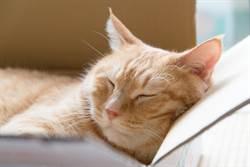 藍貓靠箱熟睡 嘴邊肉「無預警溢出」網驚:真的是液體