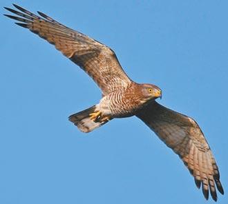 8萬國慶鳥過境 雙鷹刷新紀錄