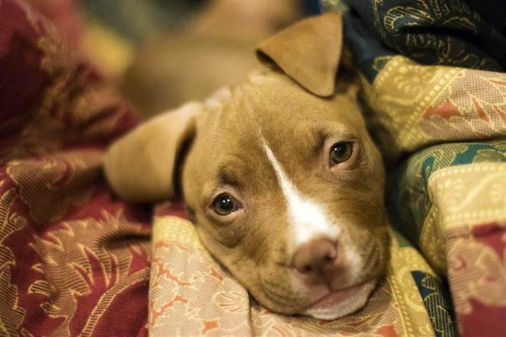 比特犬46%都在台中巿,原因竟和非法賭博有關。(圖/Pixabay)