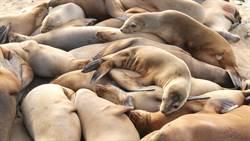 海灘驚現5000隻海豹寶寶屍體 專家淚揭背後真相
