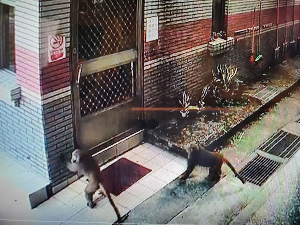 獼猴群卻轉攻警衛室,幾隻跳著試圖打開門。(淵明國中提供錄影帶)