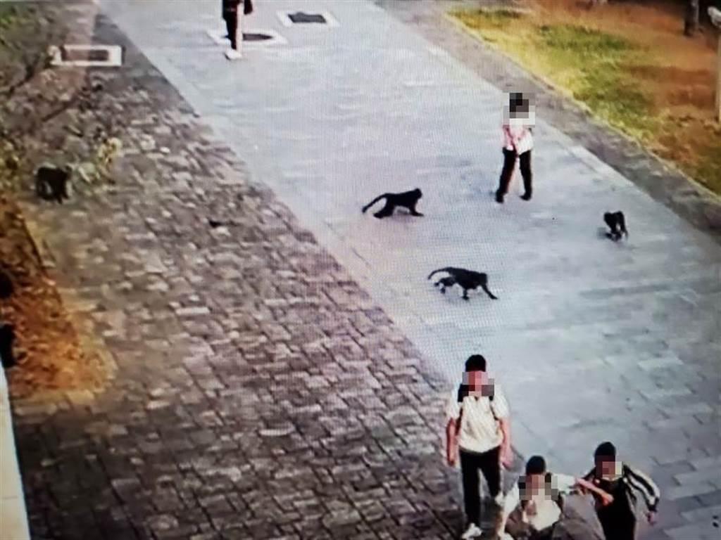 20多隻獼猴清早7點多就在私立淵明國中大門口等學生,三隻獼猴對一名女學生進逼。(淵明國中提供錄影帶)