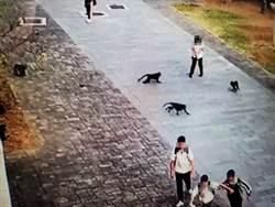 獼猴進攻校園!20多隻獼猴門口圍事堵學生 校長怒斥:太扯了