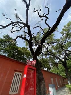 孔廟門面鳳凰樹染病多年、樹況不佳 農業局將搶救