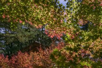 福壽山農場最美楓紅 松廬日本掌葉楓月底轉紅