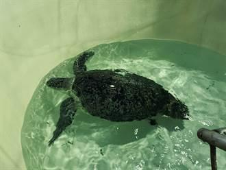 小金門擱淺海龜恢復健康 23日重返大海