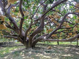 麻豆60年老欉大白柚树 结实近2000颗