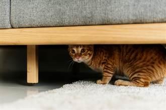客人造訪貓皇秒孬躲沙發下 超糗「屁股忘記收」飼主傻眼