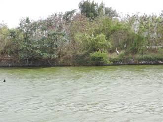 水位增高影響鳥棲地 鳥友嘆:鰲鼓溼地快變「無鳥溼地」