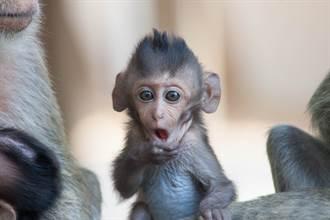 野猴集體闖屋把玩幼兒 女童慘遭砸頭身亡