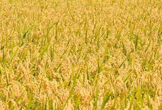 嘉義農試分所 培育抗旱稻種