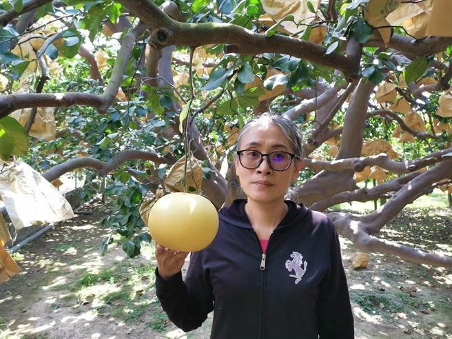 麻豆农友张津雪家种有十多棵树龄60多年的老欉大白柚,每株结实上千多颗。(刘秀芬摄)