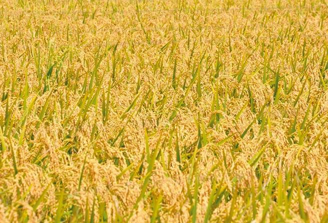 農業試驗所嘉義農業試驗分所博士吳永培多年前就培育出節省30%灌溉用水的稻米品種,可惜未廣泛被農民栽種。(吳永培提供∕呂妍庭嘉義傳真)