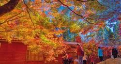福壽山松廬楓紅月底轉色 清境火把節同歩登場