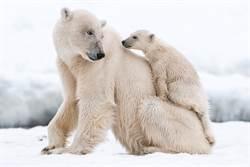 6隻北極熊攜幼擋路「包圍垃圾車」嚇壞駕駛 真相超鼻酸