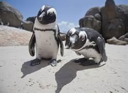 企鵝同志伴侶想當爸想瘋了「搶蛋孵」 保育員一看巢穴搖頭