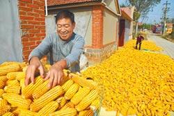 生豬存欄增多 帶動玉米價飆漲