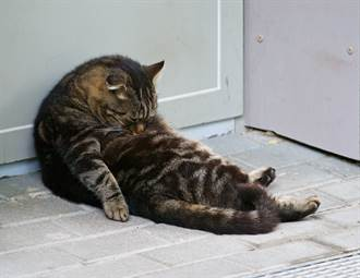 醉漢貓癱倒沙發上狂度估 「肉球摸啤酒肚」炫耀