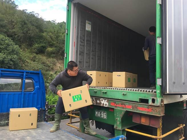 山頂果園農場22日順利出口1萬株草莓苗到新加坡,全程以低溫冷藏技術,控溫控溼,避免種苗爛光。(巫靜婷攝)