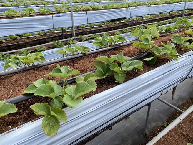 大湖農會產銷班班長范銹龍,研究草莓高架栽培技術。(巫靜婷攝)