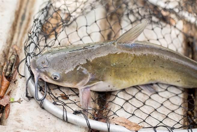 抓鯰魚回家養卻忘記餵食 11個月後竟瘦成「蝌蚪」