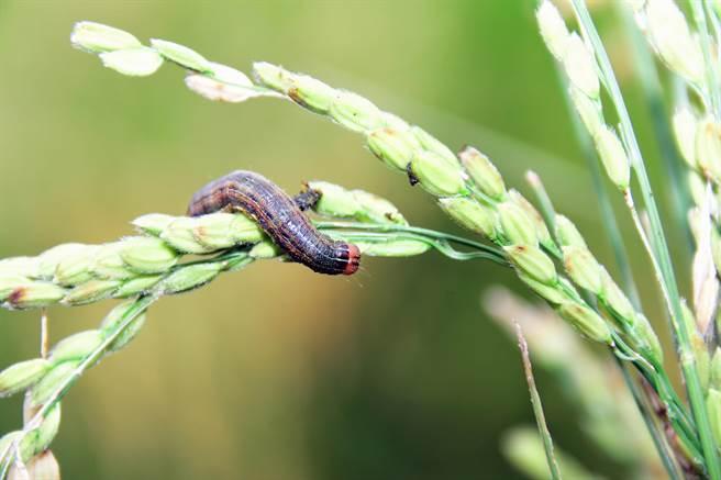 台東縣關山鎮二期水稻即將進入收割,卻出現「分秘夜蛾」危害作物。(莊哲權攝)