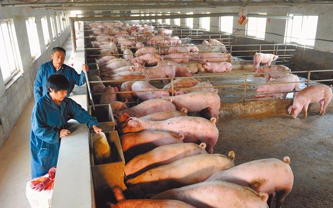 大陸養豬獲利堪比開銀行。圖為江蘇連雲港市一處養豬場。(中新社)