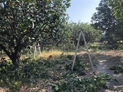 麻豆、下營柚子廢枝條改定點收運 農民怨不便