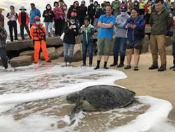 小金門擱淺海龜 今天下午野放重返大海