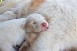 絕無P圖 白色母狗生出「綠色幼犬」 農夫嚇壞收編