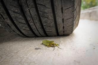 惡魔鐵甲蟲殼超硬「汽車也壓不死」 能承受身體4萬倍重量