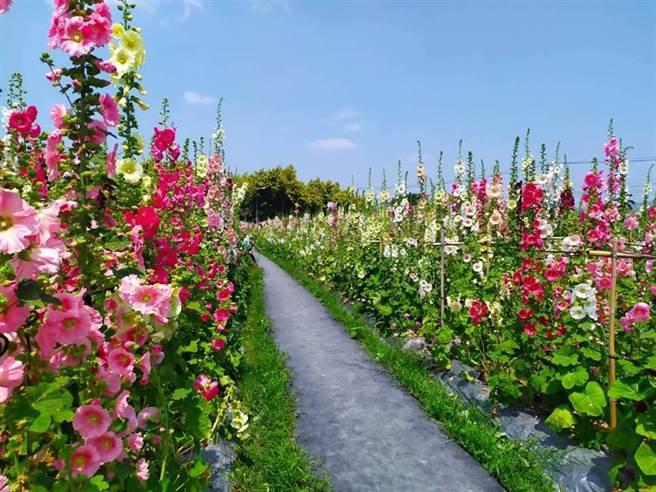 員林市南區公園蜀葵花迷宮,自2015年舉辦花季賞花活動已來,成為每年春天熱門賞花景點;俗稱一丈紅的蜀葵花繽紛綻放,與天爭高。(資料照)
