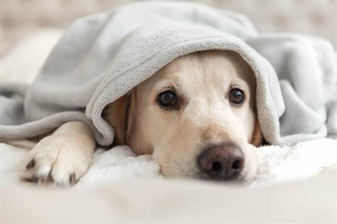 巴西一隻8個月大的流浪幼犬被收編後,儘管擁有了溫暖的新家,但仍難以忘懷被遺棄後流浪街頭的感覺(示意圖/達志影像)