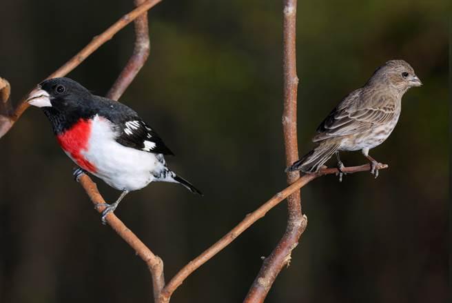 玫胸白斑翅雀羽翼為毛色是雌性,呈現紅色則是雄性(示意圖/達志影像)