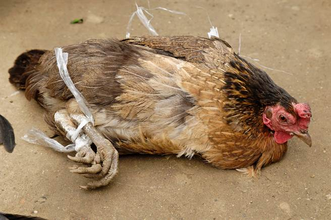 英變態男子強迫29隻雞與其「情慾流動」,29隻雞全數「香消玉殞」。(示意圖/shutterstock)