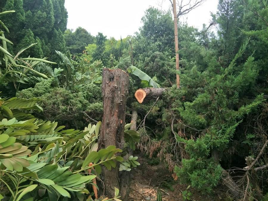 苗栗縣銅鑼、公館9月陸續傳出民宅庭院的龍柏遭竊。(警方提供/巫靜婷苗栗傳真)