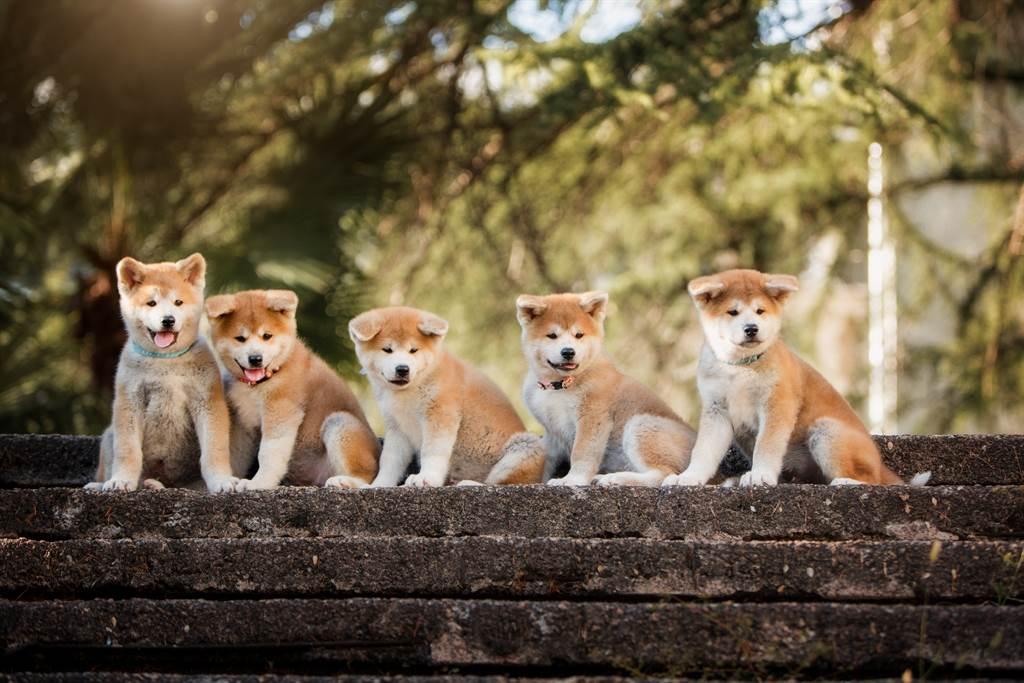 帶秋田媽出門散步 抬頭見奶狗「窗邊排排站」哀怨緊盯(示意圖/達志影像)