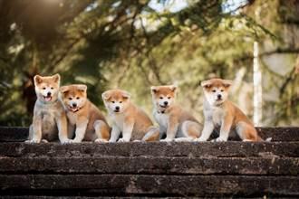 帶秋田媽出門散步 抬頭見奶狗「窗邊排排站」哀怨緊盯
