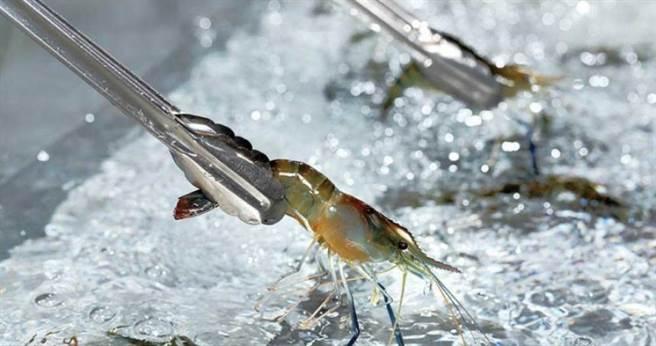 抓蝦的時候記得動作要輕,不然蝦子容易因受到驚嚇跳開或受傷。(圖/于魯光攝)