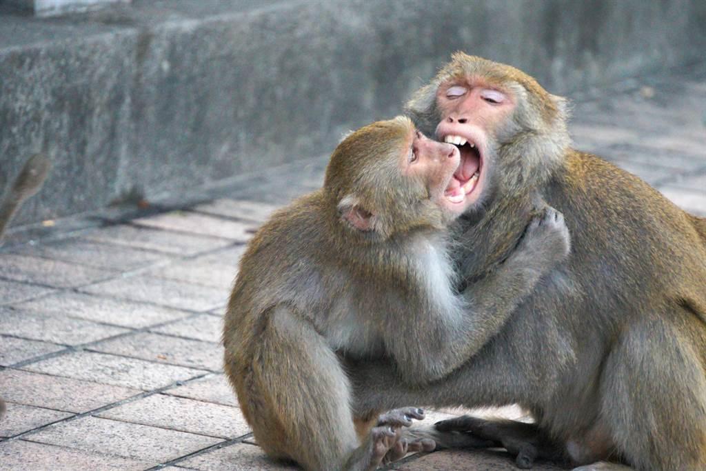 柴山驚見30隻獼猴「激烈火拼」 專家:非常罕見(示意圖/達志影像)