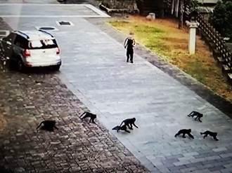 獼猴成群大鬧校園圍攻學生 搶食早餐原因曝光