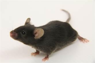 神農鼠腎毒篩檢平台  提供護腎產品開發所需的工具鼠