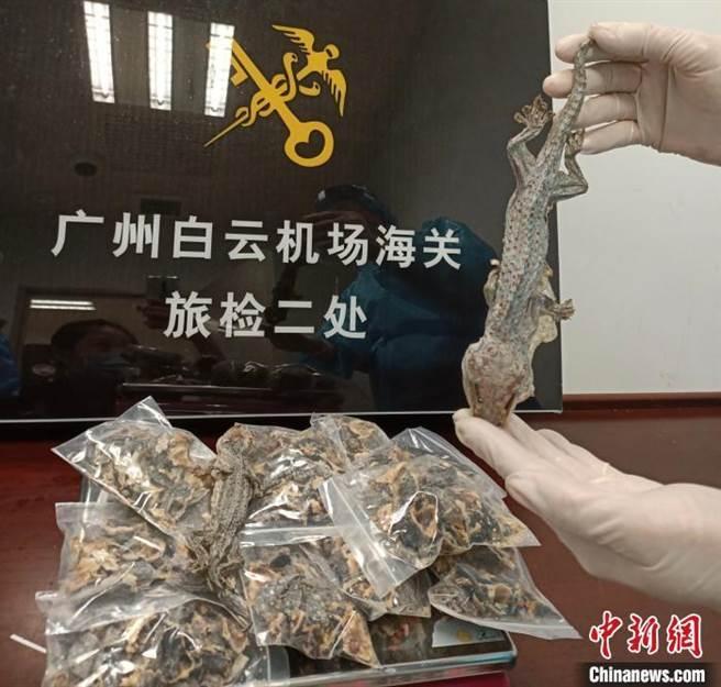 廣州白雲機場海關查獲的民眾自柬埔寨帶回大壁虎乾。(取自中新網)
