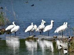 黑面琵鷺來了台南目擊破千隻 黑琵保育季下月登場