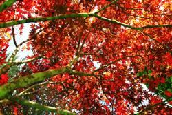 賞楓全國第一波 杉林溪楓葉紅了